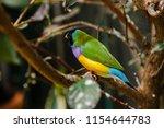 the gouldian finch  erythrura... | Shutterstock . vector #1154644783