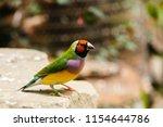 the gouldian finch  erythrura... | Shutterstock . vector #1154644786