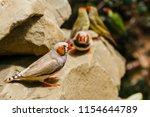 the gouldian finch  erythrura... | Shutterstock . vector #1154644789