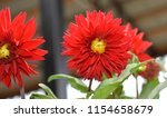 red chamomile flowers... | Shutterstock . vector #1154658679