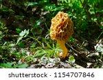 Morel Mushroom  Morchella Gen ...