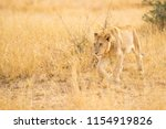 lion is observing very... | Shutterstock . vector #1154919826