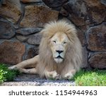 white lion is a rare color... | Shutterstock . vector #1154944963