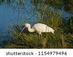 spoonbill  platalea  bird... | Shutterstock . vector #1154979496
