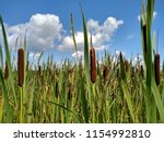 Reed Mace Grows Up Close