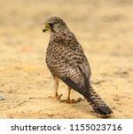beautiful female common... | Shutterstock . vector #1155023716