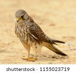 beautiful female common... | Shutterstock . vector #1155023719
