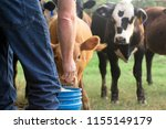 Farmer Feeding His Baby Cows...