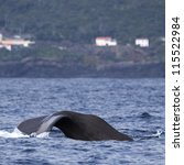 Sperm whale starts a deep dive - near shore waters south of Lajes do Pico (Pico Island, Azores) 03 - stock photo