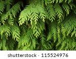 White Cedar Background
