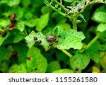 the colorado potato beetle also ...   Shutterstock . vector #1155261580