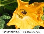 Bumble Bee On A Pumpkin Flower