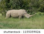 white rhino with curled tail... | Shutterstock . vector #1155359026