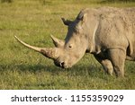 white rhinoceros with very long ... | Shutterstock . vector #1155359029