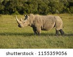 white rhino in late afternoon... | Shutterstock . vector #1155359056