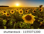Field Of Sunflowers At Sunset...