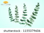 set of eucalyptus inflorescence ... | Shutterstock .eps vector #1155379606