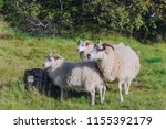 a sheep is walking with two... | Shutterstock . vector #1155392179