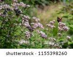 bright daytime butterfly aglais ... | Shutterstock . vector #1155398260