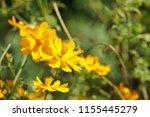 yellow cosmos or cosmos... | Shutterstock . vector #1155445279