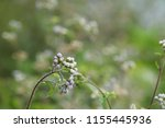 billygoat weed or ageratum... | Shutterstock . vector #1155445936