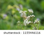 billygoat weed or ageratum... | Shutterstock . vector #1155446116