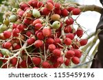 fruits of royal palm ... | Shutterstock . vector #1155459196