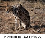 cheetah sits on his haunches... | Shutterstock . vector #1155490300