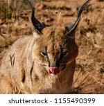 caracal cat scans his... | Shutterstock . vector #1155490399