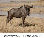 a single cape buffalo looks at... | Shutterstock . vector #1155490420