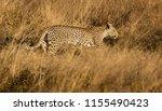 leopard walks in short dry... | Shutterstock . vector #1155490423