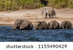 family of elephants enters a... | Shutterstock . vector #1155490429