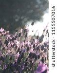 lavandula pedunculata  french... | Shutterstock . vector #1155507016