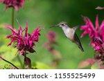 A Ruby Throated Hummingbird...