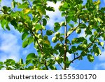 the branches of apple trees... | Shutterstock . vector #1155530170