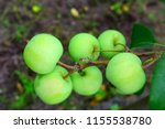 six green apples on a branch. a ... | Shutterstock . vector #1155538780