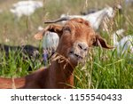 goats eating up weeds in a... | Shutterstock . vector #1155540433