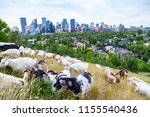 goats eating up weeds in a... | Shutterstock . vector #1155540436