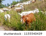 goats eating up weeds in a... | Shutterstock . vector #1155540439