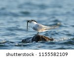 sandwich tern in its natural... | Shutterstock . vector #1155582109