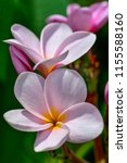 frangipani flowers close up... | Shutterstock . vector #1155588160