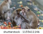 monkey or ape is the common... | Shutterstock . vector #1155611146