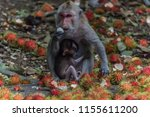 monkey or ape is the common... | Shutterstock . vector #1155611200