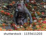 monkey or ape is the common... | Shutterstock . vector #1155611203