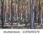inside  pine tree forest  ... | Shutterstock . vector #1155650170