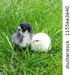 gray and white little chickens... | Shutterstock . vector #1155663640