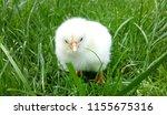 white little chicken on the... | Shutterstock . vector #1155675316