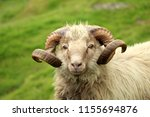 shaggy sheep portrait in the... | Shutterstock . vector #1155694876