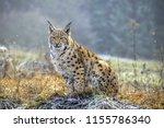 Wild Eurasian Lynx  Lynx Lynx ...