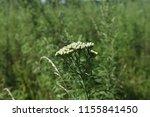 common yarrow  achillea... | Shutterstock . vector #1155841450